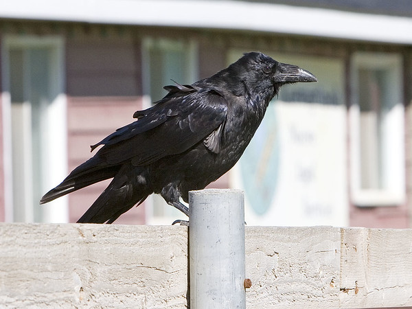 Raven on short pole, building in background