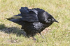 Raven on the ground, some kind of display posture.