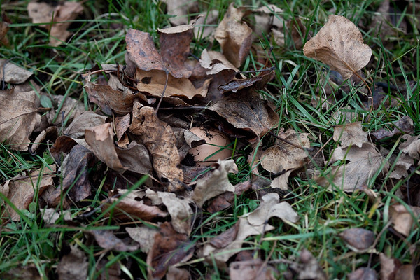 Pile of leaves made by Raven to cache an egg. Top leaves removed to show egg.