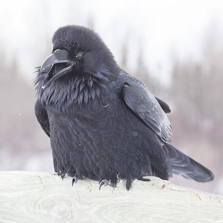 Raven on railing on Store Creek rail bridge in Moosonee. Beak open, bird looking ahead.