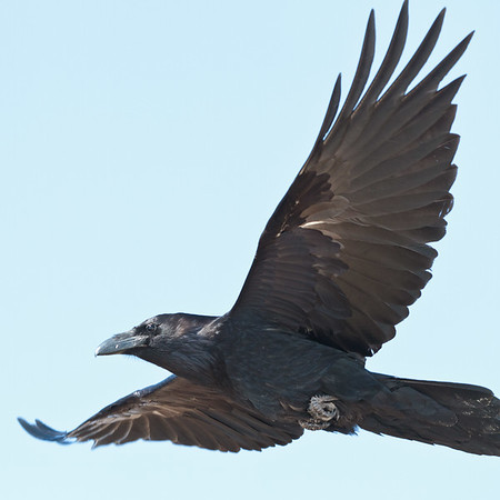 Raven in flight, tip of tail out of frame.