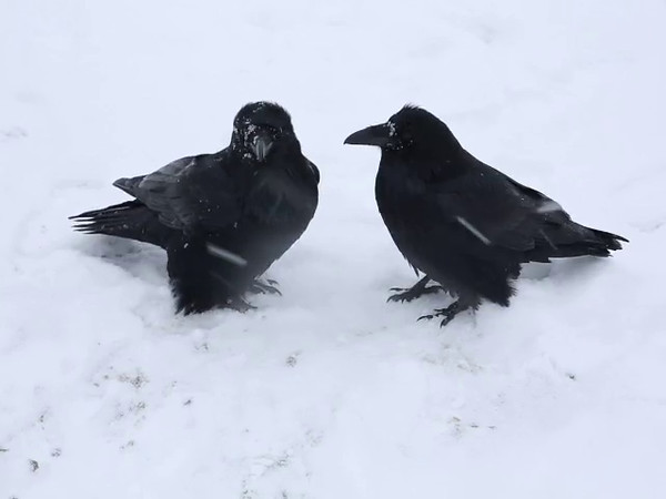 Two ravens mutually grooming in snow storm. 2014 November 9th.