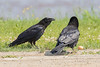 Juvenile raven at left starring at adult with an egg.