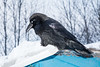 Raven on the roof. 2017 January 5