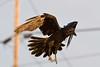 Raven in flight, preparing to land, feet pointing down.