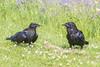 Juvenile raven at left by adult.