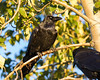 Raven perched on branch. Nictating membrame partially covering eye. Second raven in foreground.