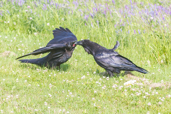 Juvenile raven at left being fed bread by adult raven at right.