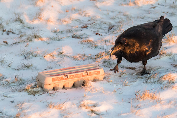 What says Christmas more than a carton of eggs. Raven approaching carton.