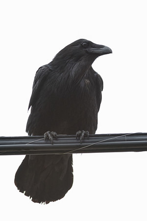 Raven on a cable. New behaviour, used to be just the crows would do this.