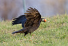 Raven about to take off with egg in beak