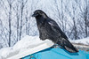Raven on the roof.