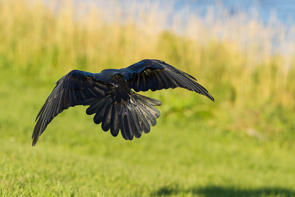 Raven flying close to ground. Wings bent. Shadow on ground.
