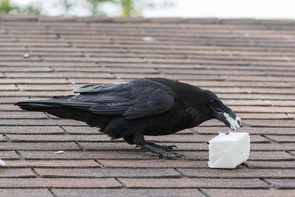 Raven enjoying lard.