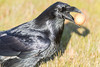 Raven on the ground with brown egg in its beak.