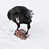 Raven eating meat on snow, meat in mouth