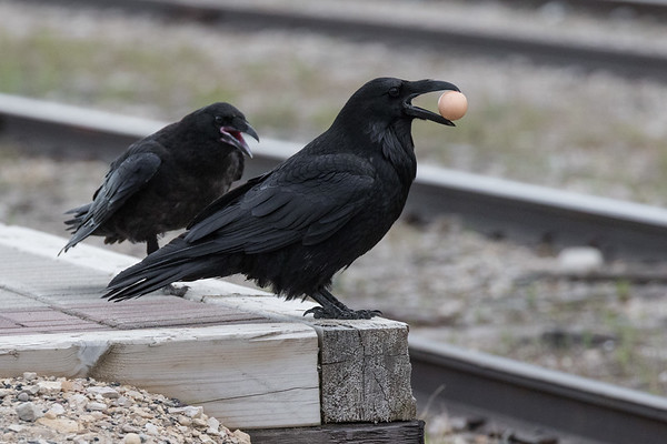 Juvenile raven (pink mouth) begging food from an adult raven with an egg in its beak.