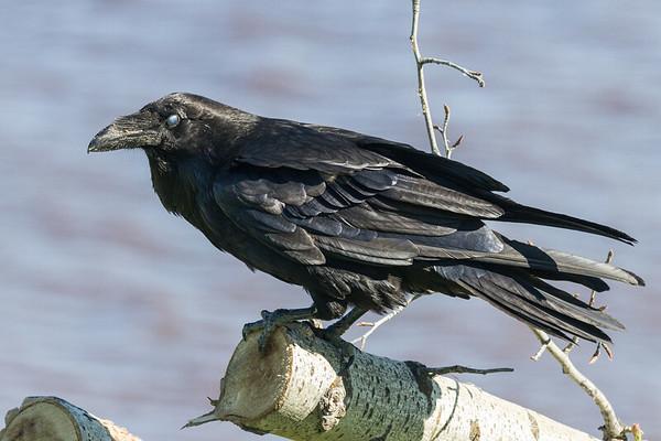 Raven on a log. Nictating membrane over eye.