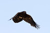 Raven in flight, wings down.