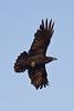 Raven in flight from underneath