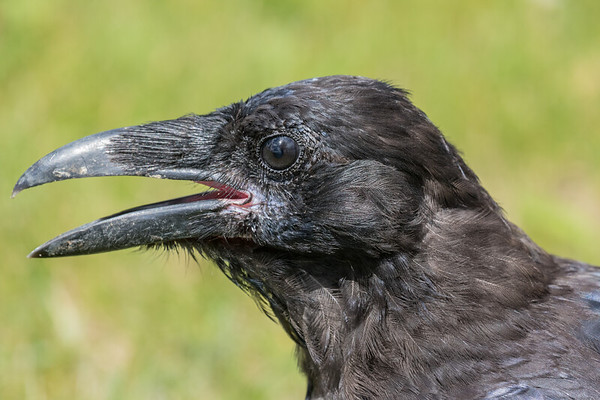 Headshot of a juvenile raven. Note pink interior of mouth.