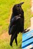 Raven on front pallet.