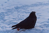 Raven on a cold morning. Frost covered, Head feathers point up. Almost appears to have laid an egg.