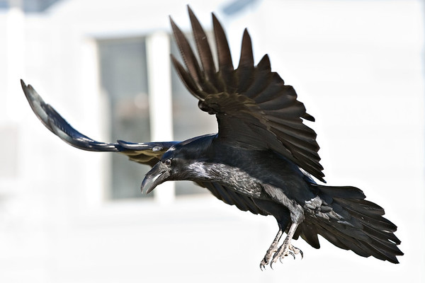 Raven in flight, wings up, feet down, body angled to ground.