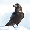 Raven, on ground, looking to camera left.