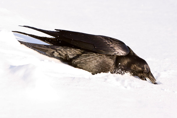 Raven digging in soft snow with beak
