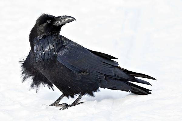 Raven on snow, looking to viewer right and up, feathers ruffled at view left front