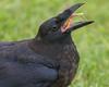Juvenile raven, beak open, displaying tongue while eating an egg.