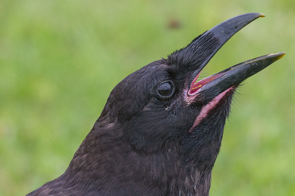 Beak open, juvenile raven displays its pink mouth with a hint of egg yolk.