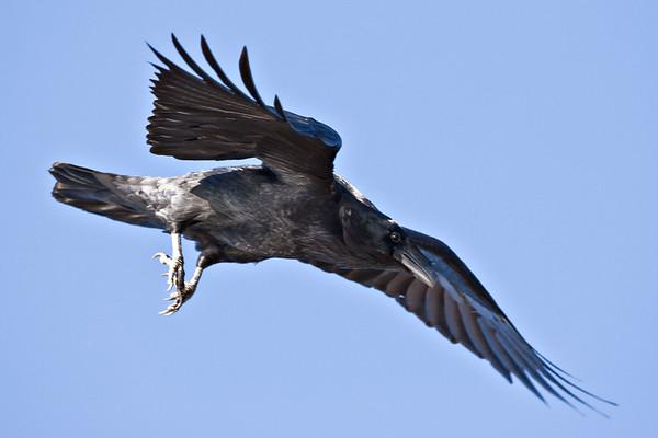 Raven in flight, feet down, wings bent, descending.