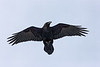 Raven flying overhead, wings outstretched, head turned to bird's left