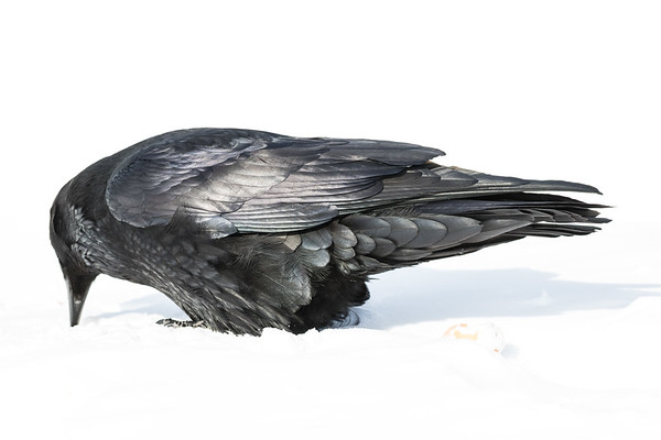 Raven with beak in snow. Focus on feathers at back of body.
