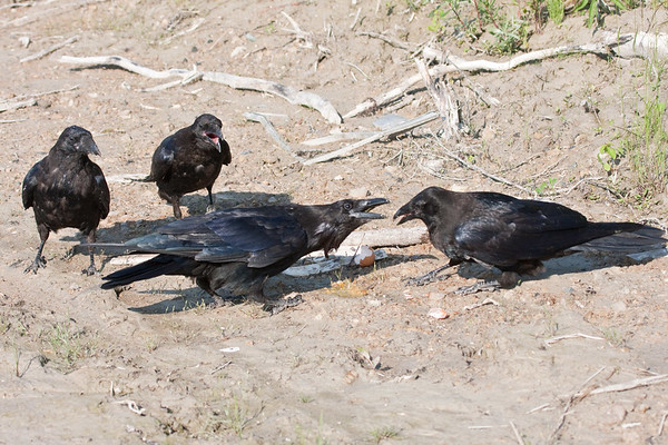 Four ravens, three juveniles and an adult (lower left) near a broken egg on clay surface. Adult raven responds to juvenile's efforts to get something.