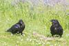Juvenile raven at left near adult raven.