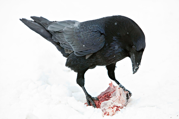 Raven holding a piece of meat on the ground, snow falling, head down