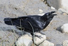 Raven along the shoreline at low tide. Beak open.