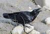 Raven along the shoreline at low tide. Beak open.