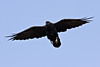 Raven in flight, overhead, wings outstretched.