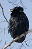 Raven with ruffled fur sitting on a tree branch. Face turned to camera left, mud on beak, probably from digging.