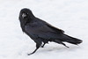 Raven on snow, nictating membranes over both eyes. Head turned.