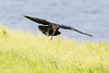 Juvenile raven coming to land, wings out, feet down, tail spread over grass.