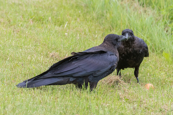 Two juvenile ravens unsure about what to do with an uncracked egg.