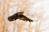 Raven in flight, wings down slightly, trees in background.