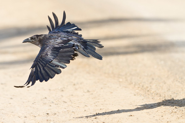 Raven flying low above road.
