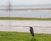 Raven on water shut off on a rainy day. Moose River in the background.