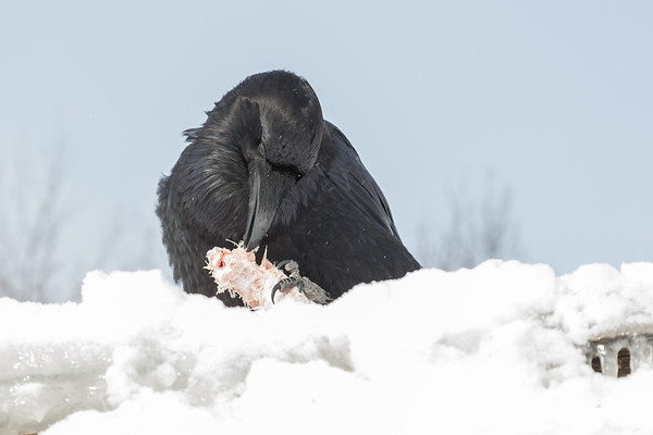 Raven enjoying a piece of meat on a snow covered roof top in Moosonee.